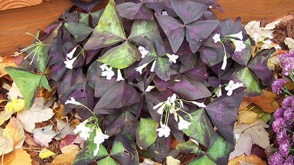 Imagens de Oxalis Triangularis