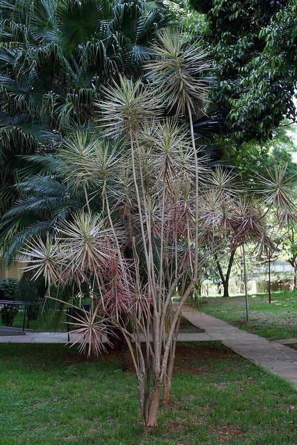 Plantar Dracaena de Madagascar