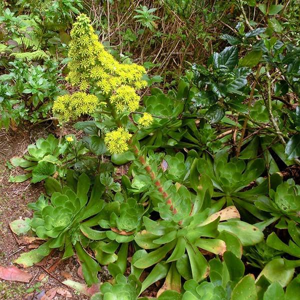 flores do Aeonium