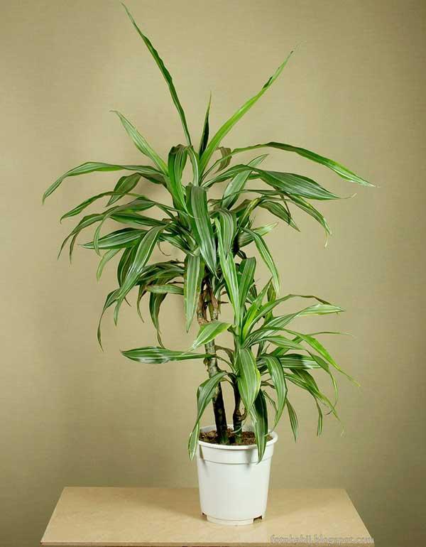 planta de feng shui