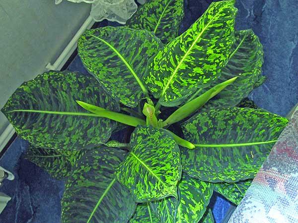 Como plantar Dieffenbachia
