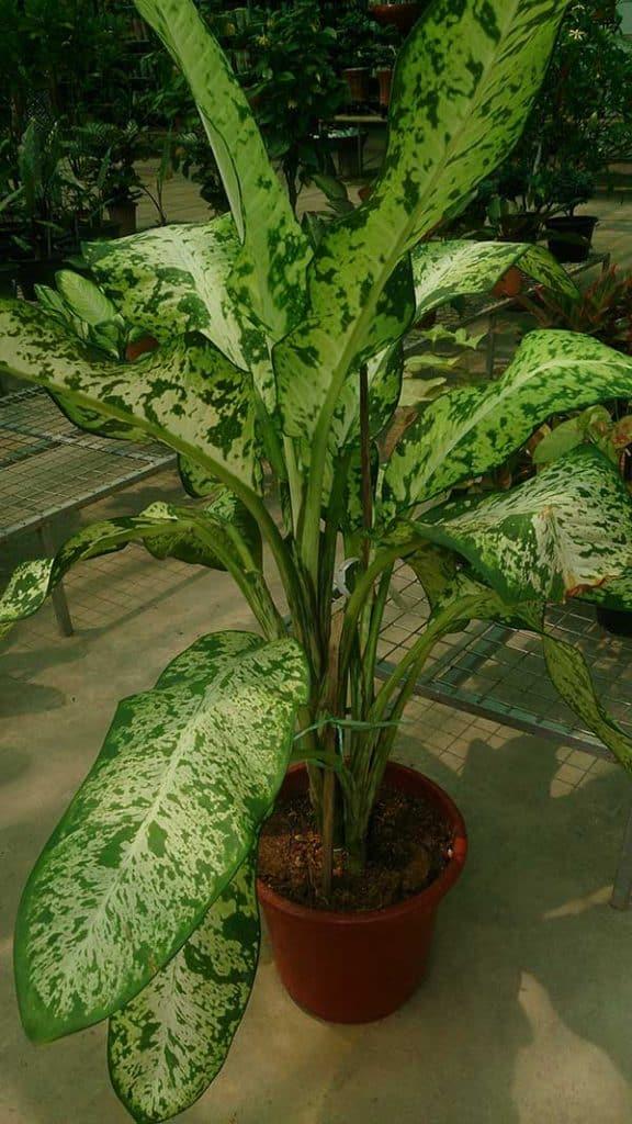 Dieffenbachia amoena em vaso 576x1024