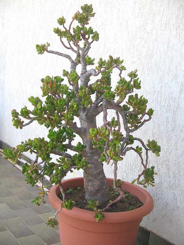 Planta jade 2