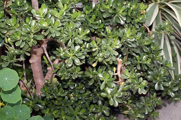 Planta jade
