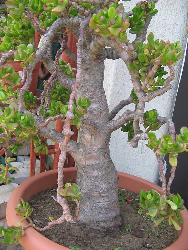 Poda da Planta jade