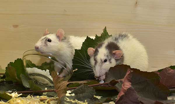 Ratos no Quintal