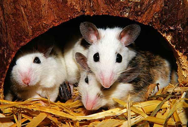 armadilhas para ratos