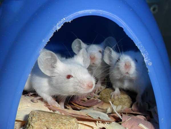 como eliminar ratos