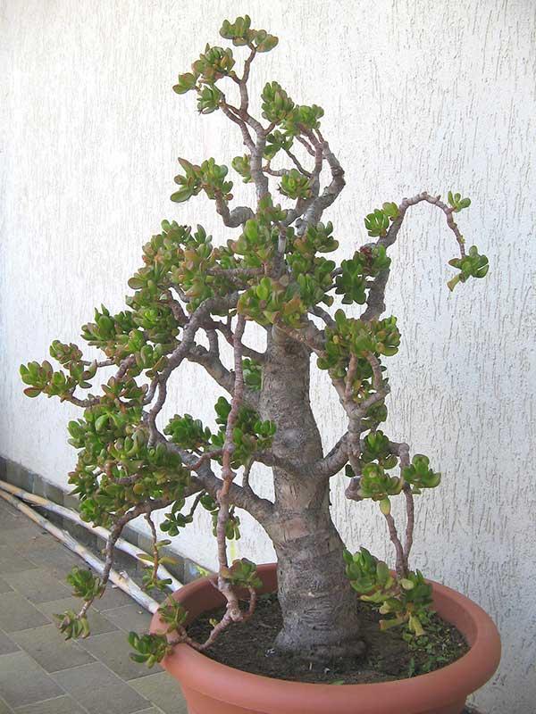 tipo bonsai
