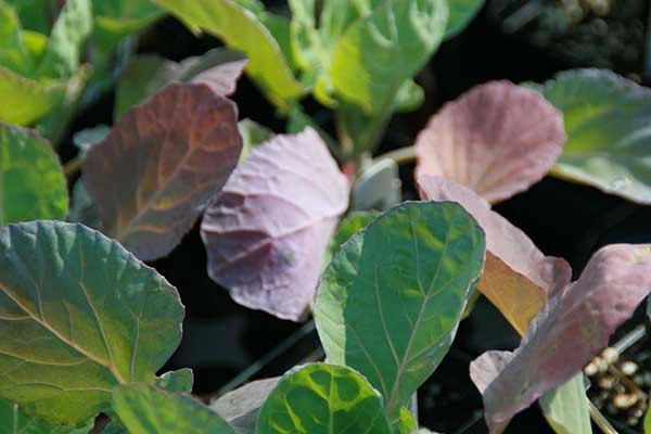 Brassica oleracea var. gemmifera 1