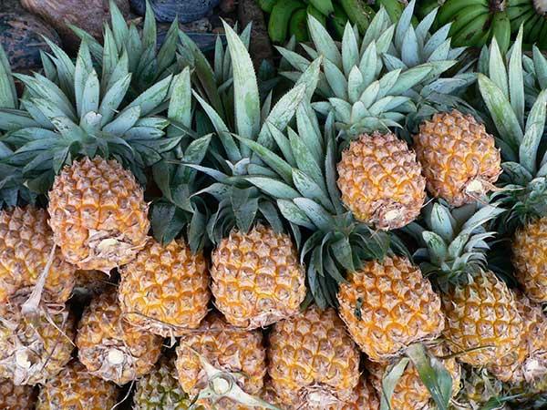 Colheita de Ananas comosus
