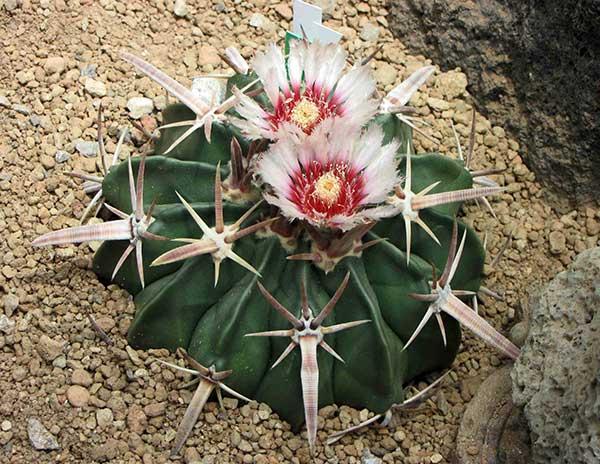 Echinocactus Texensis 1
