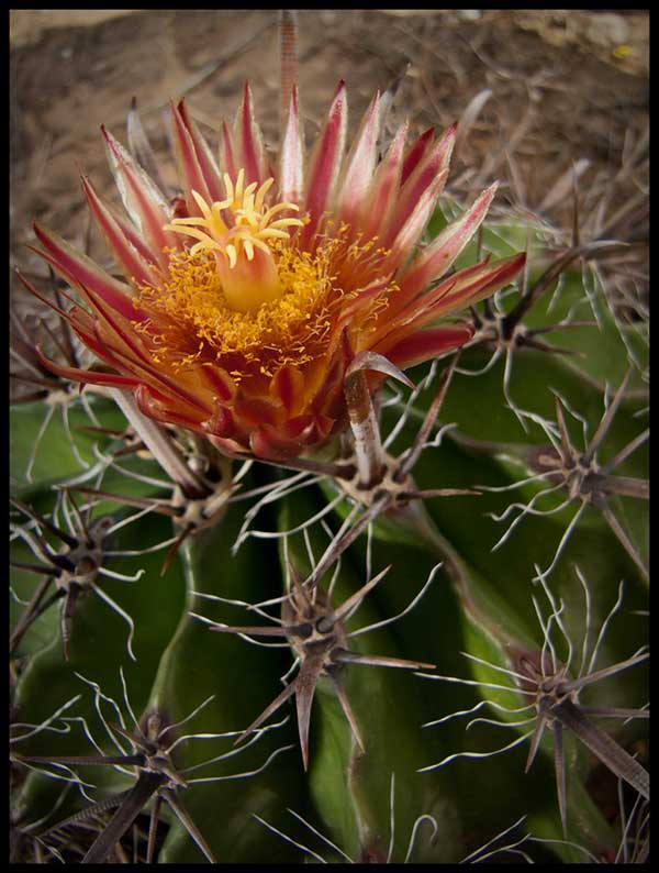 Echinocactus Texensis 3