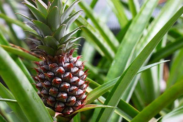 Fotos de Ananas comosus