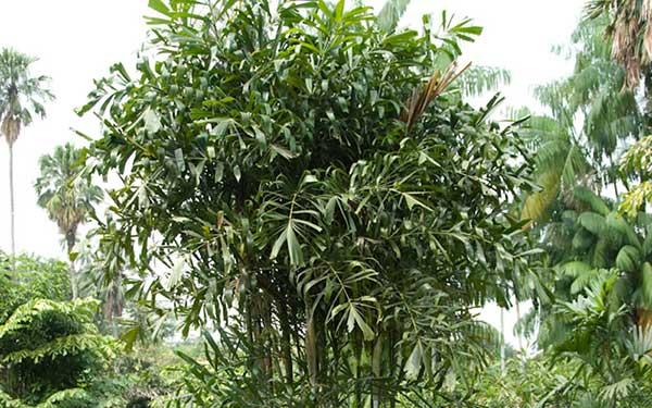 Imagens de Palmeira rapis