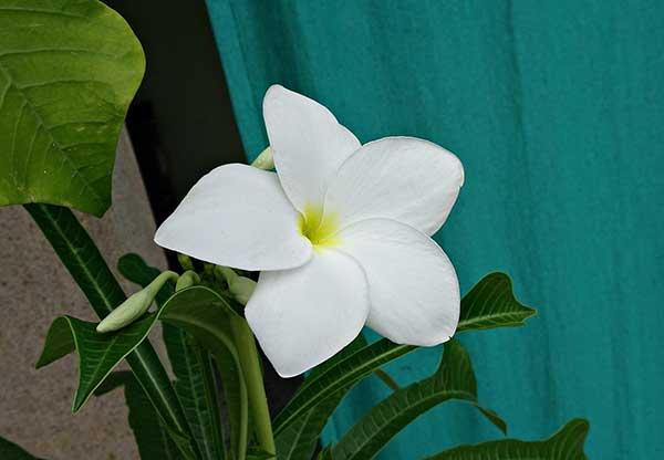 Imagens de Plumeria pudica