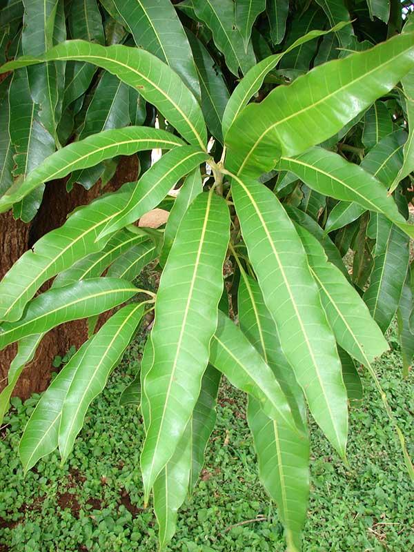 Mangifera indica 1