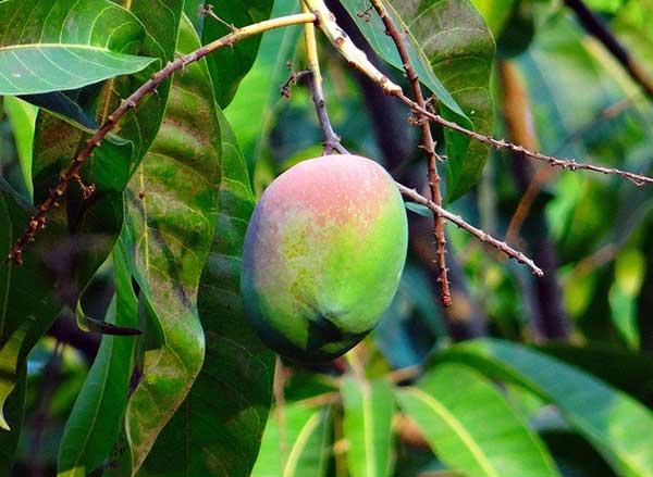 Mangifera indica 2