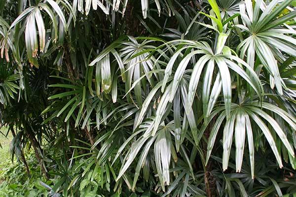 Palmeira dama