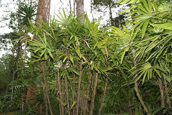 Plantar Palmeira dama