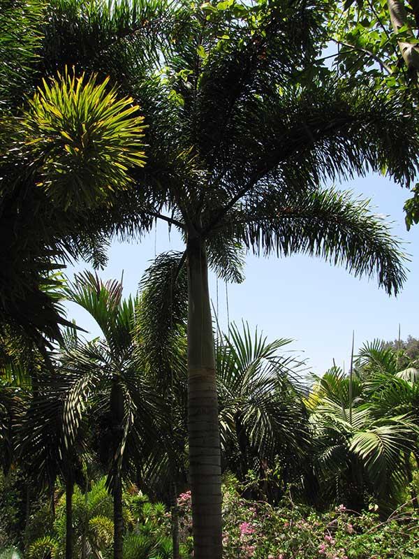 Plantar Palmeira rabo de raposa