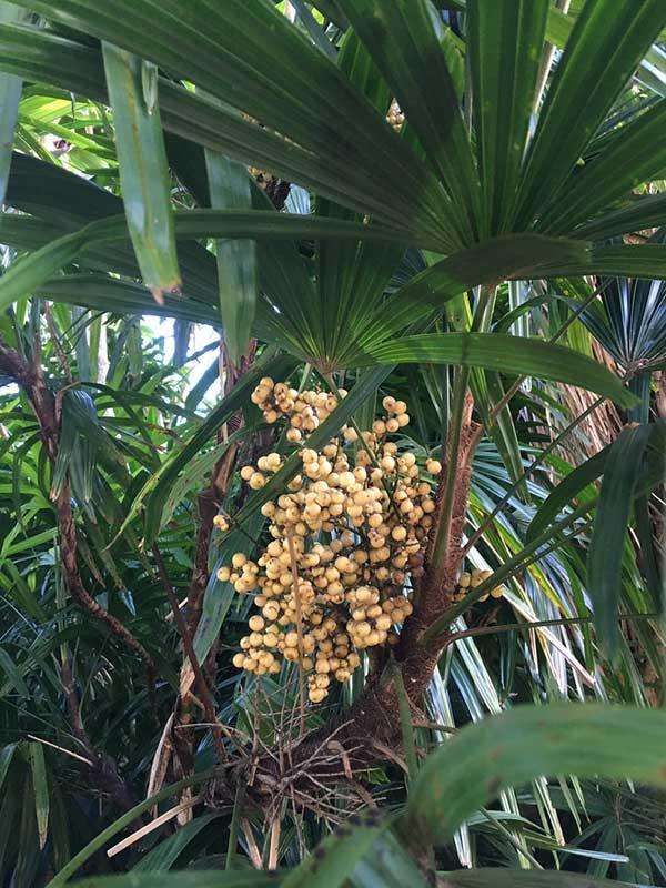 Plantio de Palmeira rapis