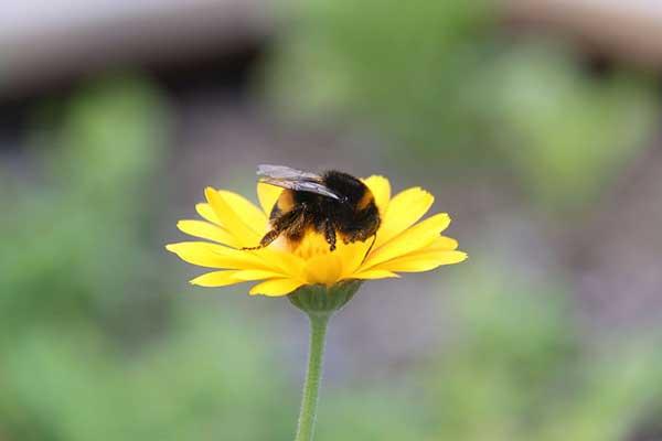 atrair abelhas