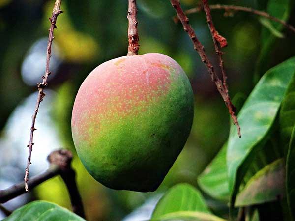 como plantar mangueira