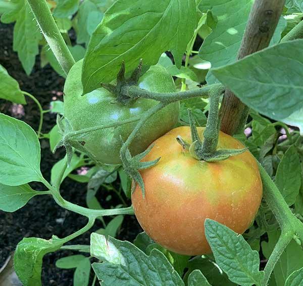 como plantar tomate em casa