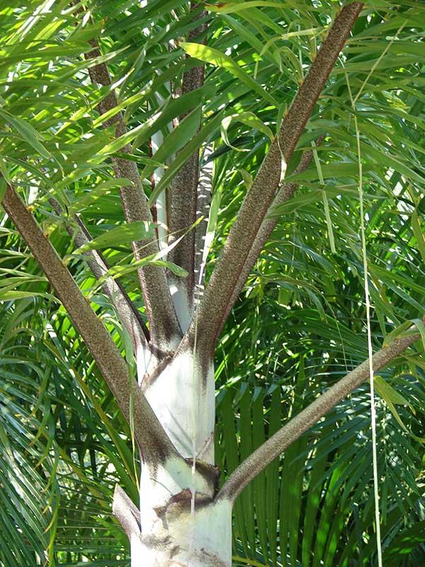 cultivo de Palmeira rabo de raposa
