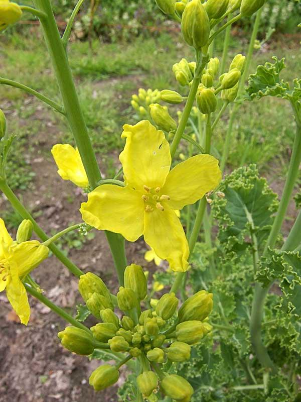 flor do vegetal