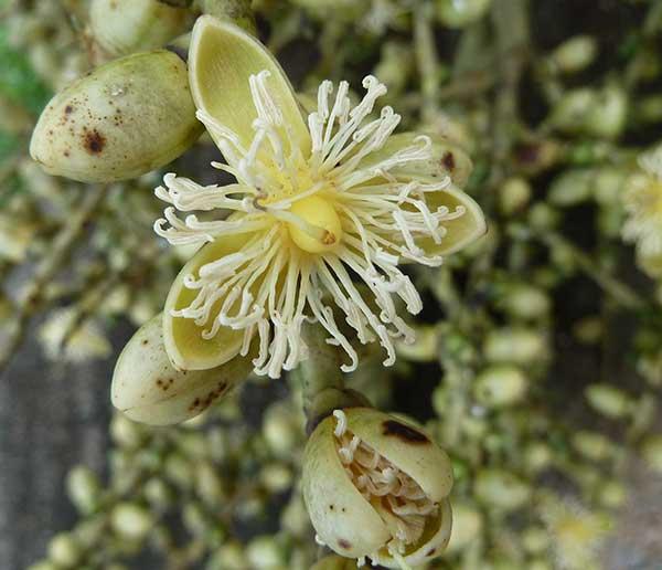 flores da planta 3