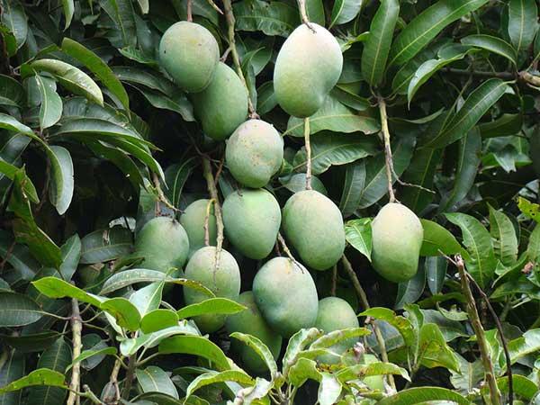 fruto tropical