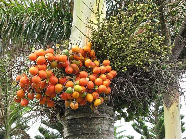 frutos da planta 1