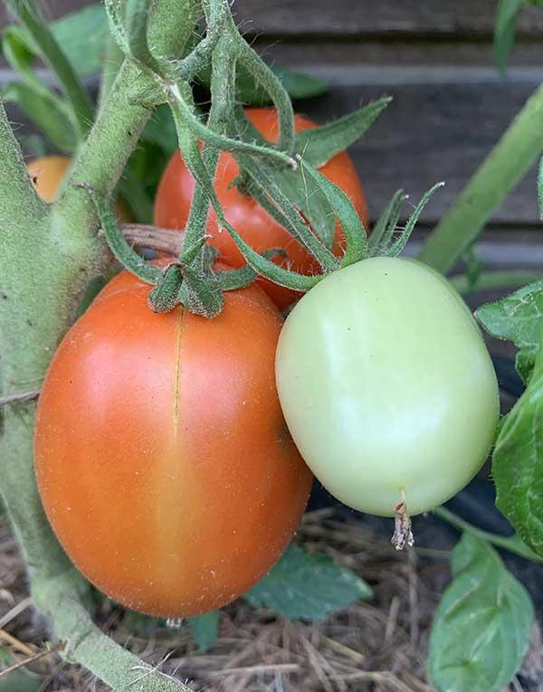 frutos para cultivar