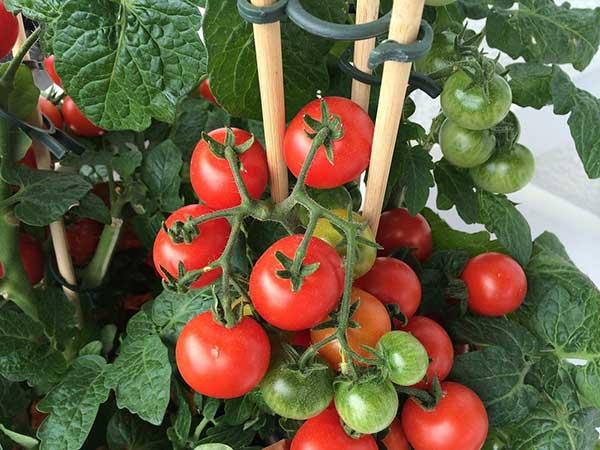 horta de tomates