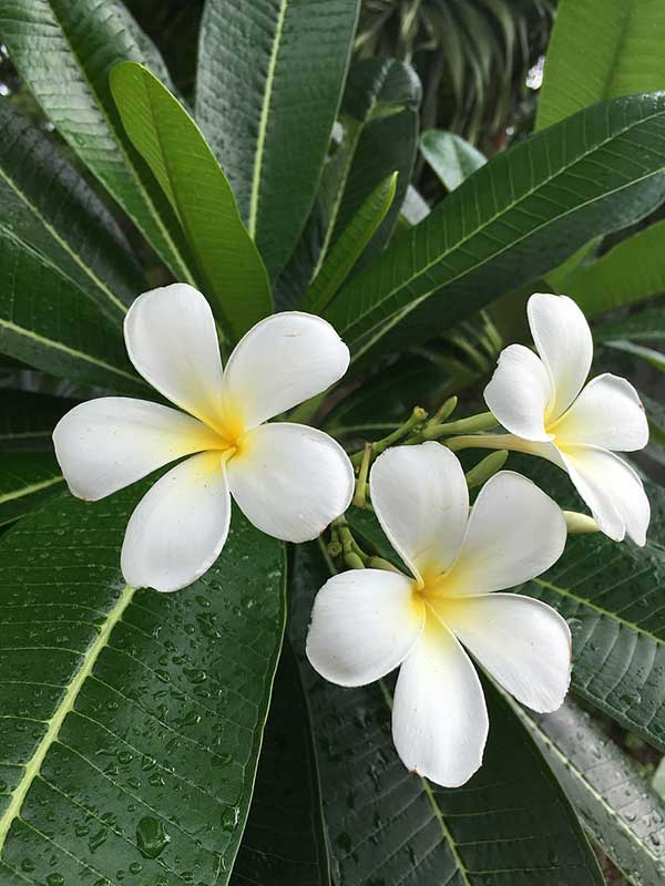 jasmim do Caribe 1
