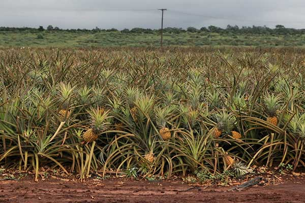 plantacao de abacaxi