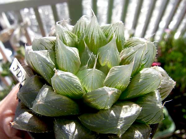 variedades da Haworthia cooperi