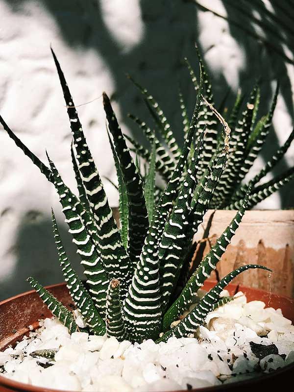 variedades da planta