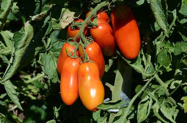 variedades para cultivo