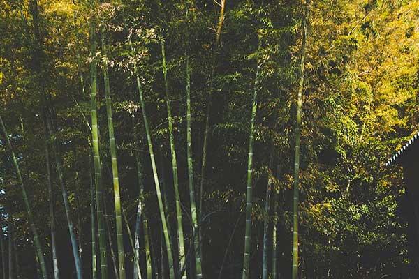 Bambu da Sorte 3