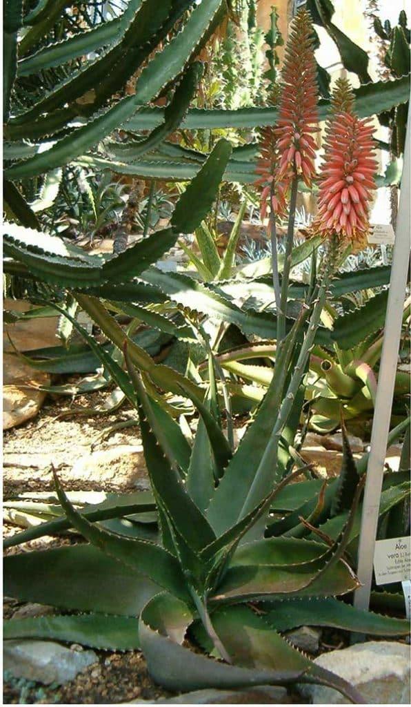 Caraguata de jardim 596x1024