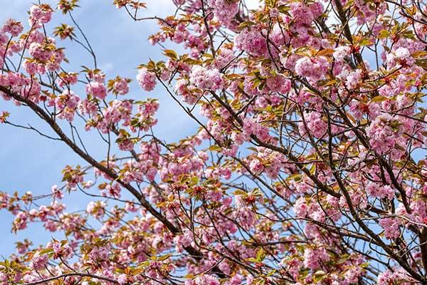 Cerejeira 2
