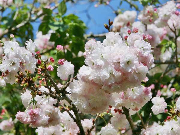 Cerejeira 4