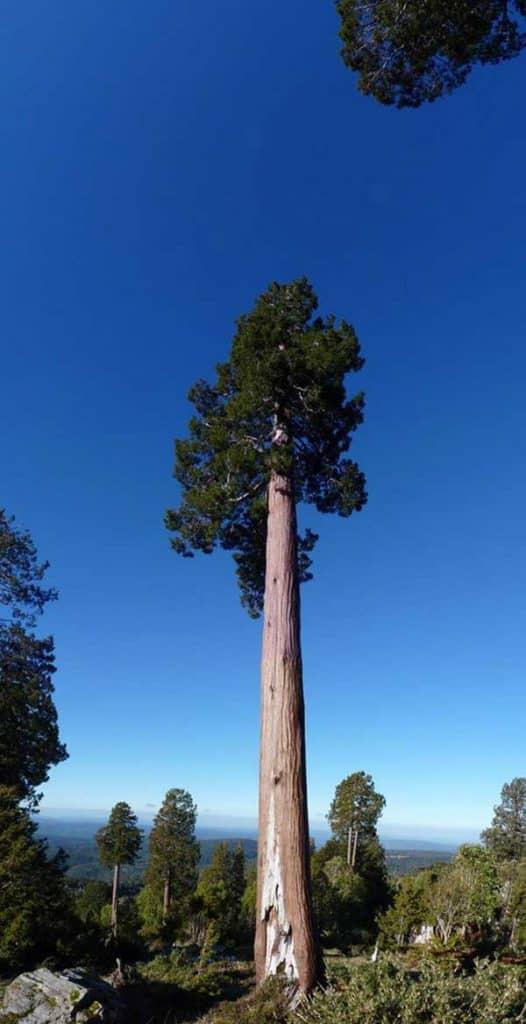 Cipreste da Patagonia 1 526x1024