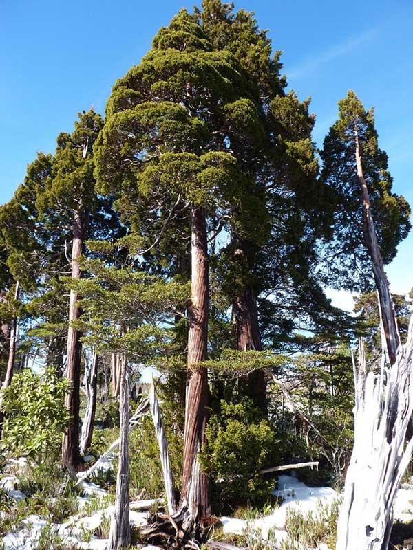 Cipreste da Patagonia 2