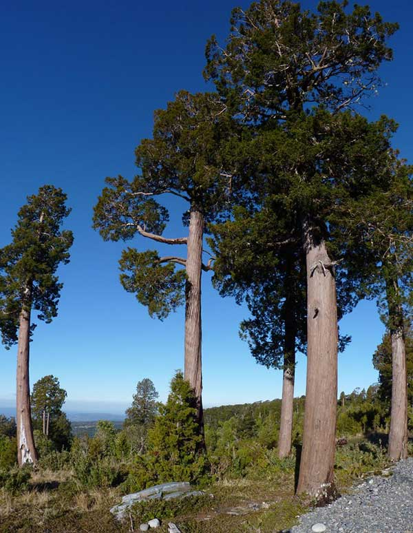 Cipreste da Patagonia 3