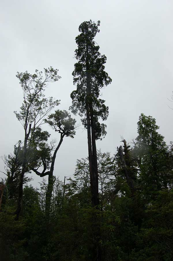Cipreste da Patagonia 5