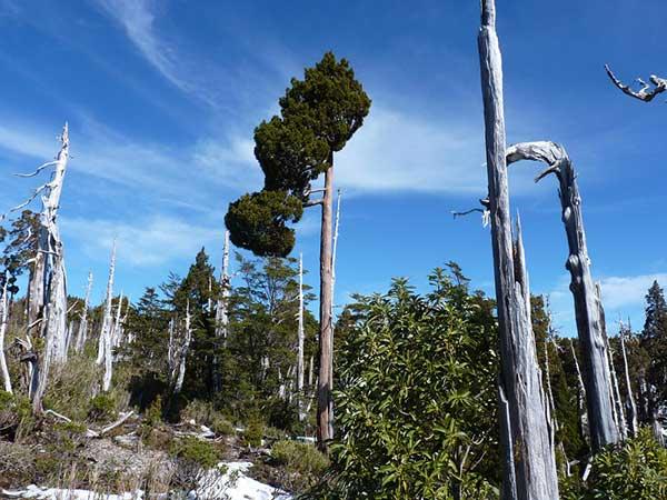 Cipreste da Patagonia